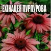 Ехінацея пурпурова