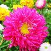 Однорічні квіти